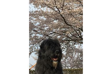 桜とディル
