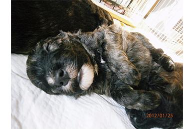 7年前の生後3週齢のディル(ブリーダーさんより提供)